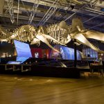 Whale skeletons inside Whales Giants of the Deep exhibit in 2016
