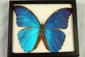 Blue Butterfly from Museum's Collection