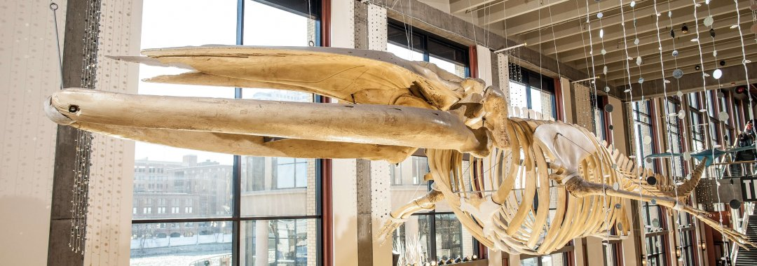 Finny the finback whale skeleton hanging above Museum Galleria